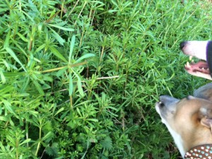 Why is my dog eating 'Sticky Weed'?
