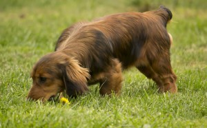 dogs-eat-poo-april-2015_r4_c2