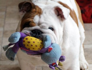 george the bulldog