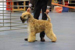 Crufts 2016 – Terrier Group: Rodney the #dorwestdog