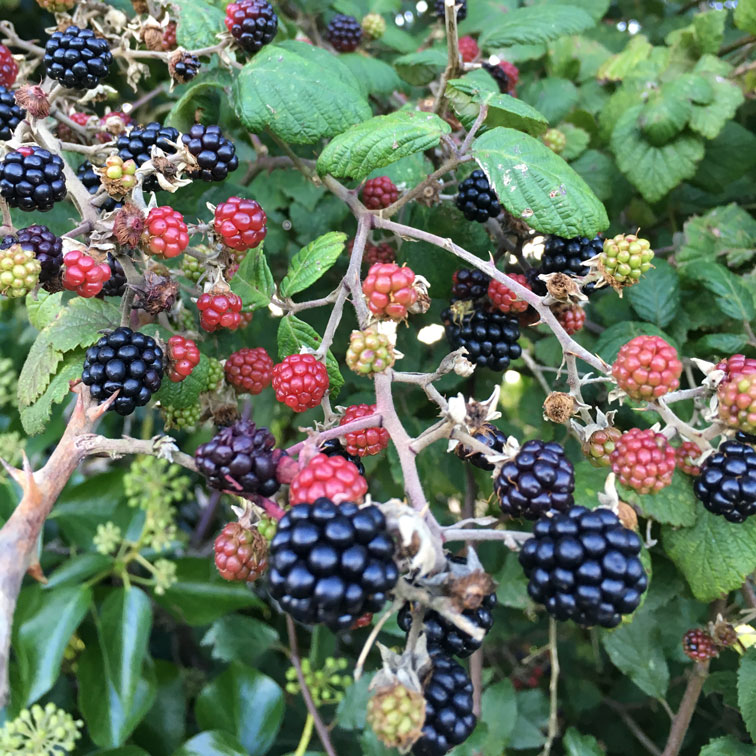 Which Hedgerow Berries Are Safe For My Dog To Eat?