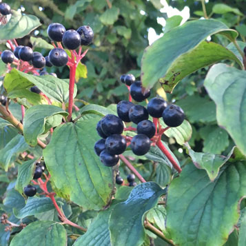 Which Hedgerow Berries Are Safe For My Dog To Eat